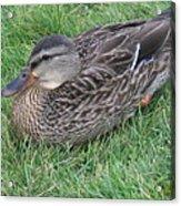 Duck 2 Acrylic Print