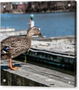 Duck About To Jump. Acrylic Print