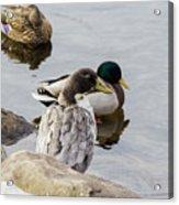 Duck, Duck Acrylic Print