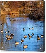 Duck Duck Goose Goose Acrylic Print