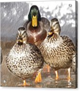 Duck - Id 16235-220402-2840 Acrylic Print