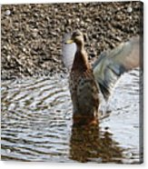 Duck In A Flap Acrylic Print