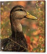 Duck In Autumn Acrylic Print