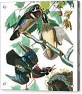 Lummer Or Wood Duck Acrylic Print