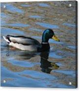 Duck Mallard Duck Acrylic Print by Hasani Blue