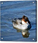 Duck On Blue Acrylic Print
