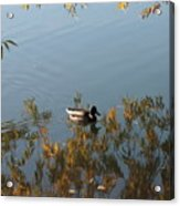 Duck On Golden Pond Acrylic Print