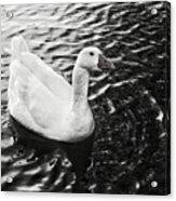 Duck On The Black Sea Acrylic Print