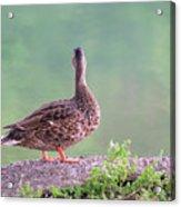 Duck Ponders Acrylic Print