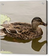 Duck Reflecting Acrylic Print
