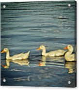 Duck Reflections Acrylic Print