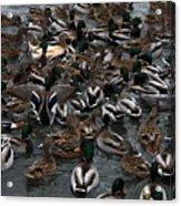Duck Soup Acrylic Print