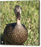 Duck Stare Acrylic Print