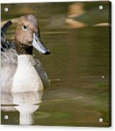 Duck Swimming, Front Portrait. Acrylic Print