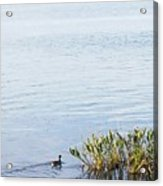 Duck Swimming In Lake Acrylic Print