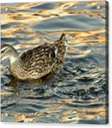 Duck Tracy Acrylic Print