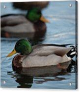 Duck Trio Acrylic Print