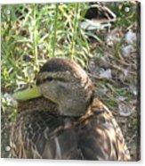 Duck Upclose Acrylic Print