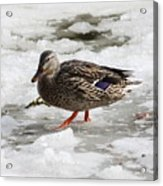 Duck Walking On Thin Ice Acrylic Print