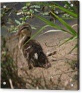 Duckling Lost Acrylic Print