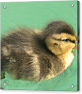 Duckling Close Up Acrylic Print