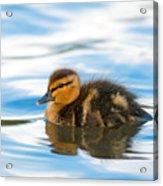 Duckling Acrylic Print