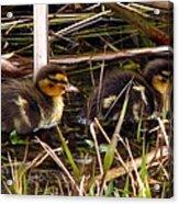 Ducklings 2 Acrylic Print