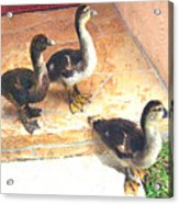 Ducklings Come To Visit Acrylic Print