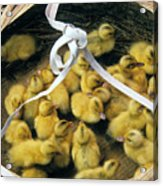 Ducklings In A Basket Acrylic Print