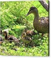 Ducklings Through The Ferns Acrylic Print