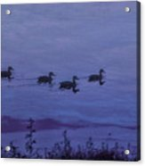 Ducks In A Row - Swimming In The Clouds Acrylic Print