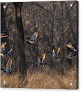 Ducks In Flight Acrylic Print