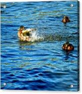 Ducks In Water Acrylic Print