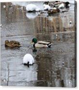 Ducks In Winter Acrylic Print