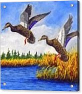 Ducks Landing In A Marsh Acrylic Print