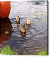 Ducks Mooning Acrylic Print