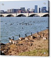 Ducks Of The Potomac Acrylic Print