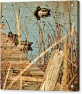 Ducks On A Pond Acrylic Print