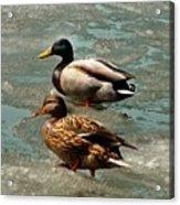 Ducks On Ice Acrylic Print