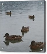 Ducks On Lake Bled Acrylic Print