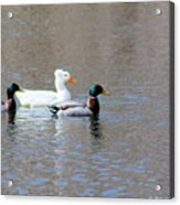Ducks On Pond Acrylic Print
