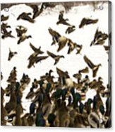 Ducks On The Move Acrylic Print