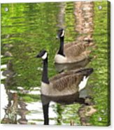Ducks Out For A Swim Acrylic Print