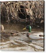 Ducks Acrylic Print