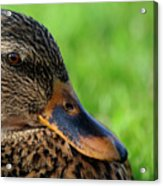 Ducky Up Close And Personal Acrylic Print