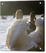 Duddingston Swan 16 Acrylic Print