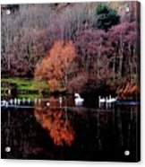 Duddingston Swan 17 Acrylic Print