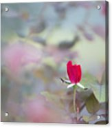 Duel Toned Ethereal Rose Bud Acrylic Print