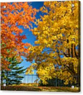 Dueling Maples Acrylic Print