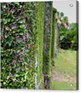 Dungeness Ivy Wall Acrylic Print